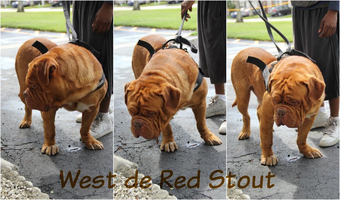 Stout Dogue de Bordeaux - Puppies